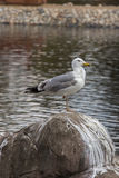 Seagull sitting on a rock on a pond Stock Image