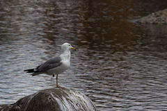 Seagull sitting on a rock on a pond Royalty Free Stock Photos