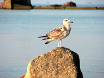 Seagull sitting on rock Royalty Free Stock Images