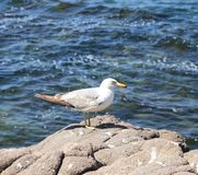 Seagull sitting on a rock Stock Image