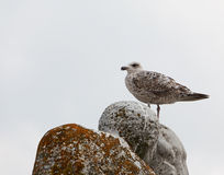 Seagull sitting on rocks against sky Stock Photos