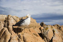 Seagull sitting on rocks Stock Image
