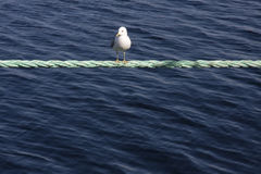 A seagull sitting on a rope Royalty Free Stock Photo