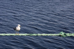 A seagull sitting on a rope Royalty Free Stock Photography