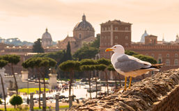 Seagull sitting on the ruins of Trajan's Market in Rome at sunse Stock Images