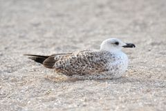 Seagull sitting on the sand Royalty Free Stock Photography