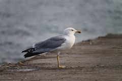 A seagull sitting on a stone pier, a side view Royalty Free Stock Image
