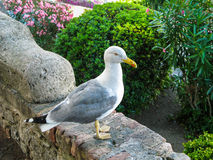 Seagull sitting on a stone fence in the garden. Royalty Free Stock Images