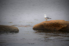 Seagull sitting on stone. By the sea in foggy weather stock photos