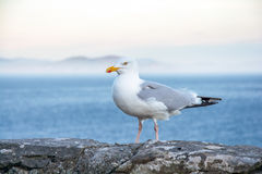 Seagull sitting on a wall. Ocean in Background royalty free stock images