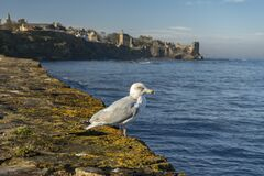 Seagull watching the blue ocean
