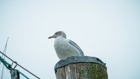Seagull. Sitting on the wood on the northsea coast in Cuxhaven, Germany Stock Image