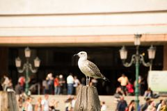 Seagull sitting on a wooden beam. Seagull close-up sitting on a wooden beam Royalty Free Stock Photography