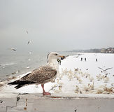 Seagull sitting on wooden bord Royalty Free Stock Photography
