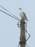 The seagull sitting on a wooden electric column in the fog Stock Photography