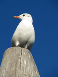 Seagull. Sitting on a wooden pillar Stock Images