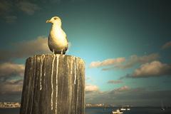 Seagull sitting on a wooden post on the coast at sunset Stock Photos