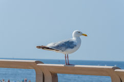 Seagull sitting on wooden railing Stock Images