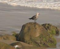 Seagull skały Obrazy Royalty Free
