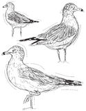 Seagull sketches Stock Image