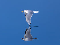 Seagull skimming low over very calm glassy water Stock Image