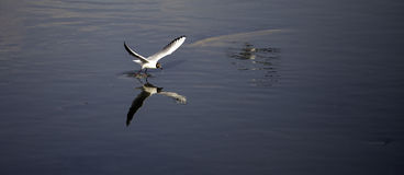 Seagull skimming Royalty Free Stock Images