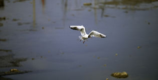 Seagull skimming Royalty Free Stock Photos