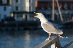 Seagull skrzeczy Harbourside Obrazy Royalty Free
