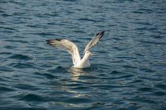 Seagull skrzydła Fotografia Stock
