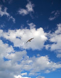 Seagull in the sky. Stock Images