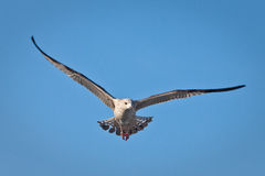 Seagull in the sky. Seagull in the blue sky Royalty Free Stock Image