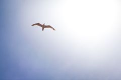 Seagull in the sky royalty free stock photo