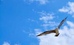 Seagull in the sky. Seagull flying on the dark blue sky Royalty Free Stock Photography