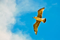 Seagull in the sky. Seagull flying on the dark blue sky Stock Images