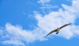 Seagull in the sky. Seagull flying on the dark blue sky Royalty Free Stock Photos