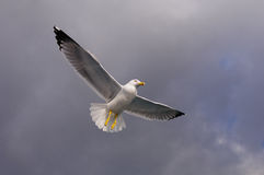 Seagull in the sky. Large white gull soaring in the sky Royalty Free Stock Image