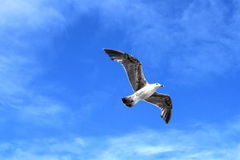 Seagull in the sky Stock Photography
