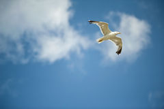 Seagull in the sky Royalty Free Stock Photos