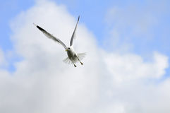Seagull in sky Royalty Free Stock Photo