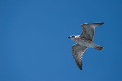 A seagull in the sky. Seagull's flight in the sky Royalty Free Stock Photography