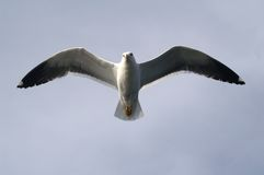 The seagull in the sky. The big seagull in the sky Stock Photos