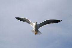 The seagull in the sky. The big seagull in the sky Royalty Free Stock Images