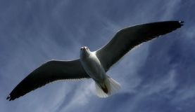 Seagull in the sky. A soaring seagull in the sky royalty free stock photos