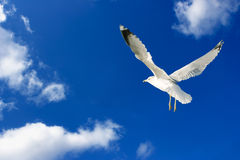 Seagull Sky Royalty Free Stock Images