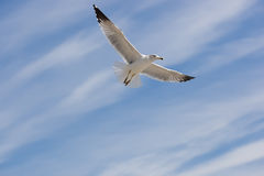 Seagull on the sky. Flying seagull on the blue sky background Royalty Free Stock Photos