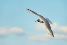 The seagull in the sky.  stock photography