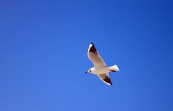 Seagull on the sky background. Seagull flying against the blue sky Royalty Free Stock Photo