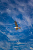 Seagull in the sky Stock Images