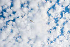 Seagull in the sky. Stock Photos