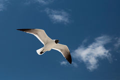 Seagull in the sky. Seagull in the blue sky stock images